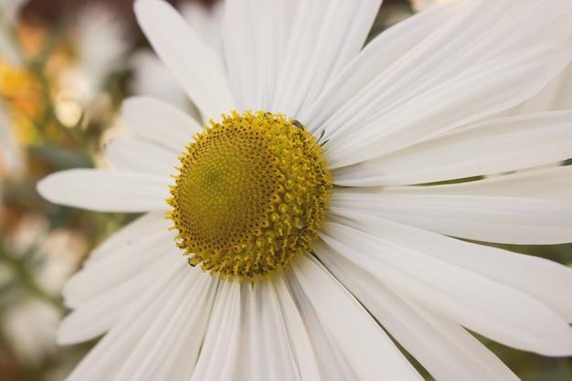 Primo piano di sfondo floreale con bellissimi fiori di camomilla. margherita di primavera. bellissimo prato.