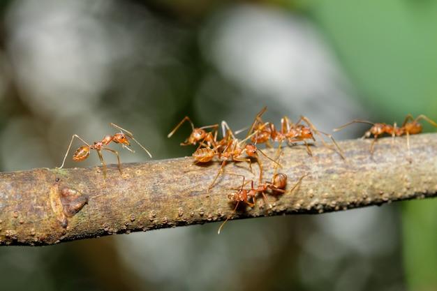 Chiuda sulla formica rossa del fuoco uno sull'albero di bastone in natura alla tailandia