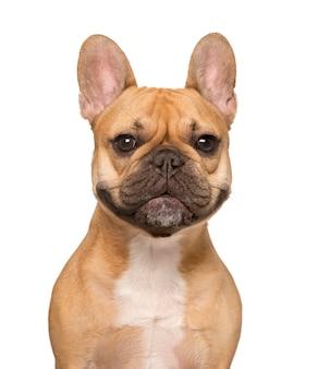 Primo piano di un bulldog francese guardando la telecamera