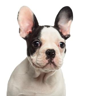 Close up di un bulldog francese cucciolo che guarda lontano
