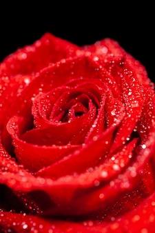 Primo piano di una bella rosa rossa fresca su sfondo nero. fiore naturale. rosa singola. elemento d'amore.