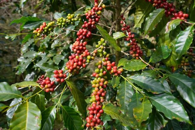 Primo piano di chicchi di caffè freschi da piante arabica coltivate in quota nel distretto di mae wang, provincia di chiang mai.