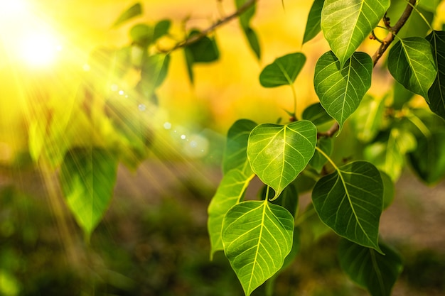Primo piano di foglia verde fresca di bo con la luce del sole al mattino. bodhi pipal albero foglie di albero