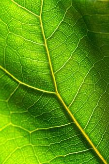 Close up di fresca foglia verde texture di ficus lyrata contro la luce solare, foto macro