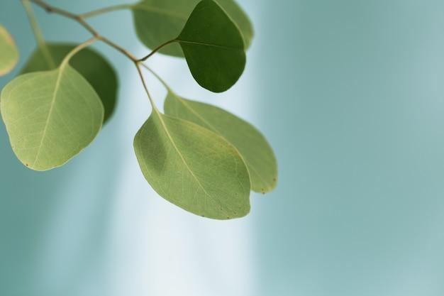 Primo piano di foglie verdi fresche di eucalipto. ripresa macro di una bella foglia