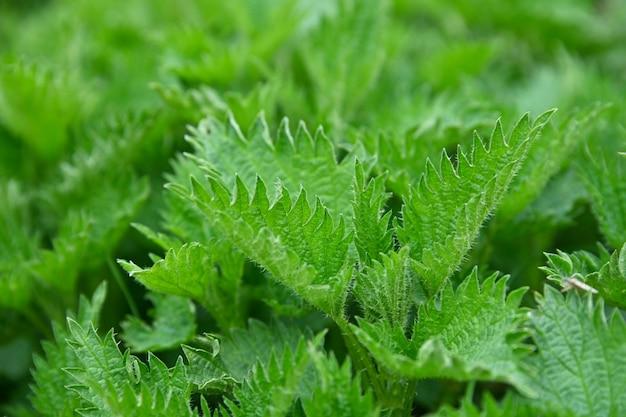 Close up fresco verde ortica foglie in giardino, ad alto angolo di visione
