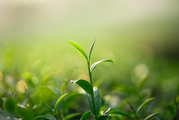 Chiuda su delle foglie di tè verdi fresche sul fondo del bokeh