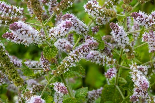 Primo piano di fiori di menta fresca in giardino