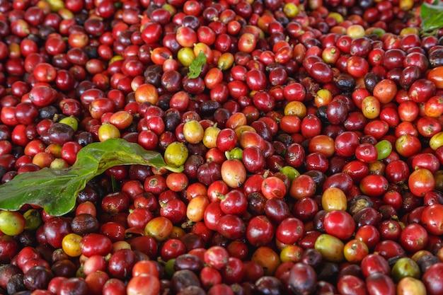 Primo piano di chicchi di caffè crudo rosso fresco e foglie di caffè