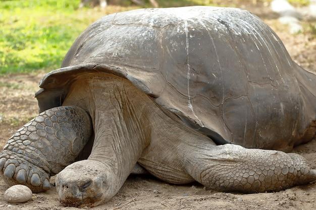Primo piano sulla tartaruga delle galapagos con un uovo