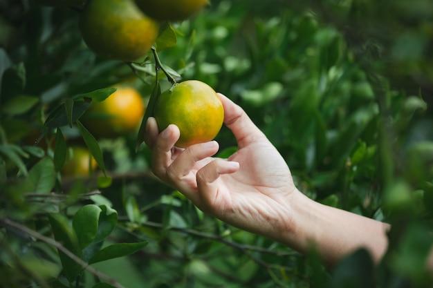 Chiuda in su della mano del giardiniere che tiene un'arancia e controlla la qualità dell'arancia nel giardino del campo di arance al mattino.