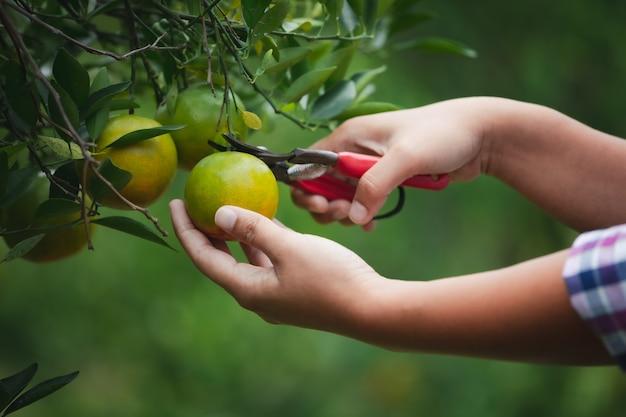 Chiuda in su della mano del giardiniere che raccoglie un'arancia con la forbice nel giardino del campo delle arance al mattino.