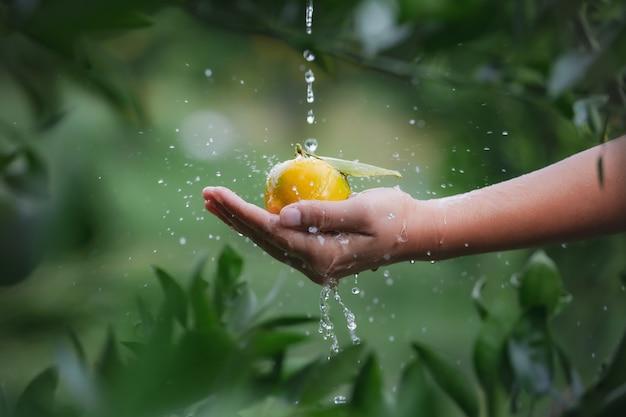 Chiuda in su del giardiniere che tiene e lava le arance in mano con goccioline d'acqua e spruzzi d'acqua nel giardino del campo di arance al mattino.