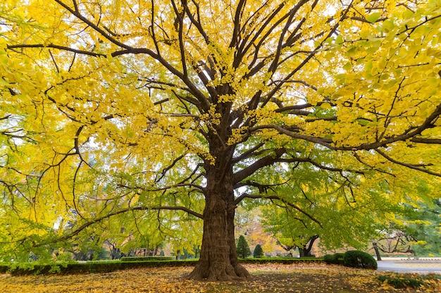 Primo piano dell'albero di gingko in autunno