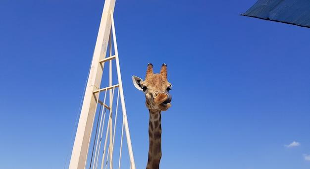 Un primo piano di una giraffa tira fuori la lingua e si lecca le labbra. testa e collo su sfondo blu.
