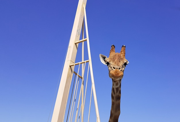 Chiuda sulla giraffa con un'espressione sorridente felice. testa e collo isolati su sfondo blu.
