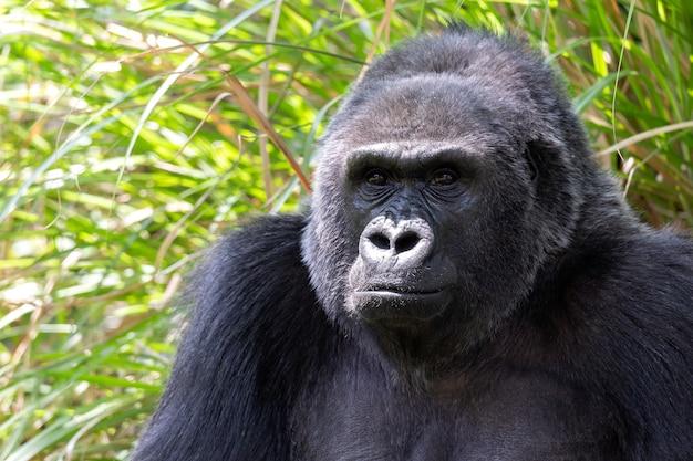 Chiuda sul ritratto della gorilla vicino all'erba verde