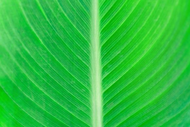 Primo piano di una foglia di banana verde. motivo a strisce su uno sfondo verde. struttura del fogliame dell'albero di banana. superficie della pianta tropicale della natura.