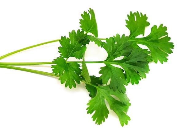 Ramo verde del primo piano di coriandolo o di coriandolo isolato su fondo bianco