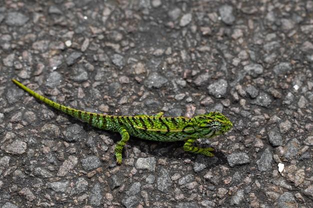 A primo piano di un camaleonte verde sulla strada