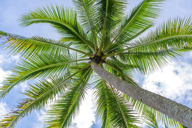 Primo piano di noci di cocco verdi appese a una palma contro un cielo blu, thailandia