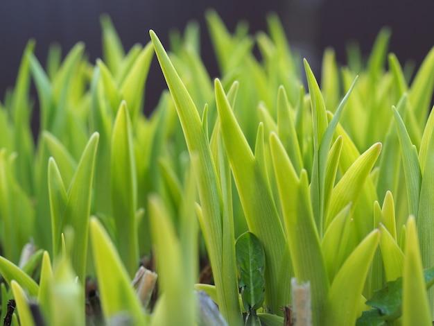 Primo piano di germogli di fiori verdi che emergono dal terreno
