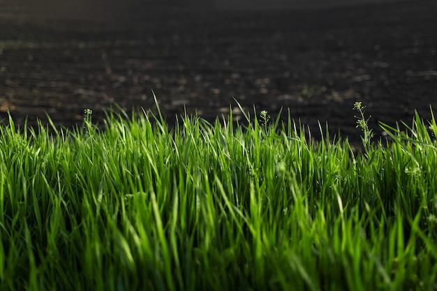 Close-up di erba verde su sfondo nero di terreni agricoli. sfondo naturale.
