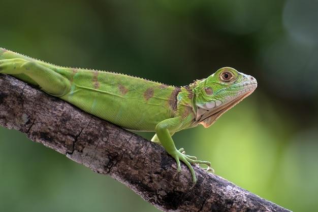Primo piano di un iguana verde su un ramo di albero
