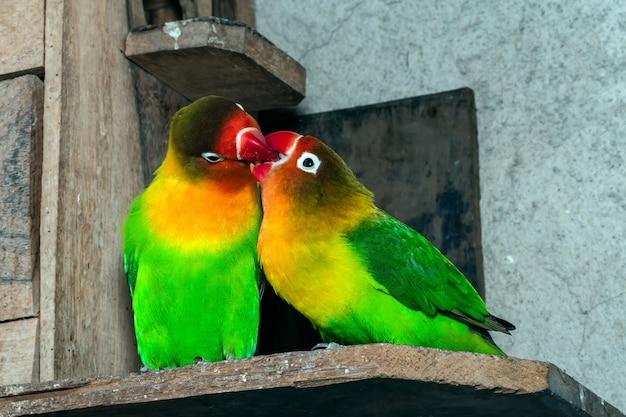 Primo piano degli uccelli verdi di amore