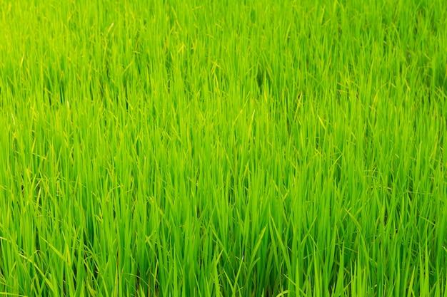 Primo piano campo di riso verde crescere in risaia nella stagione delle piogge