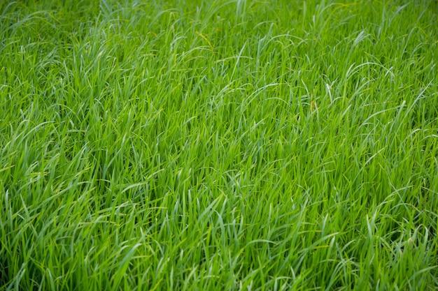 Primo piano di un campo di riso verde che cresce in una fattoria di risaia