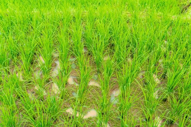 Primo piano di campo di riso verde