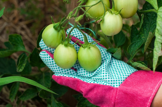 Primo piano di pomodoro verde