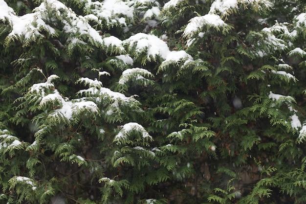 Primo piano dell'albero verde nella neve nella foresta