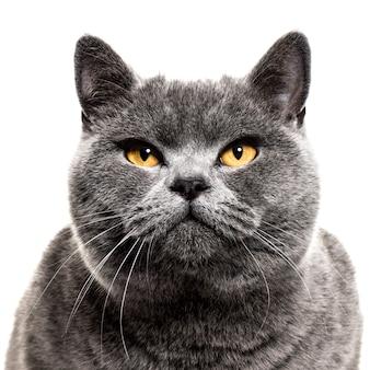 Primo piano su un gatto british shorthair grigio, isolato su bianco