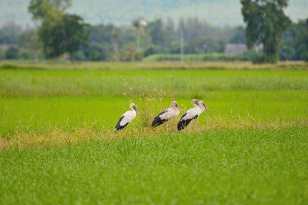 Chiuda in su del gruppo di uccelli dal becco con campi di riso