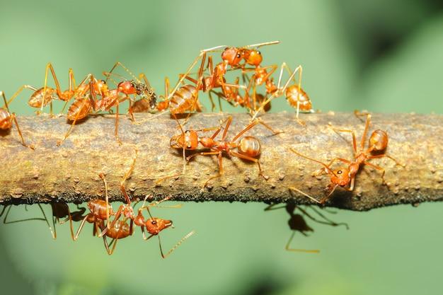 Chiuda sulla formica rossa del gruppo sull'albero di bastone in natura alla tailandia