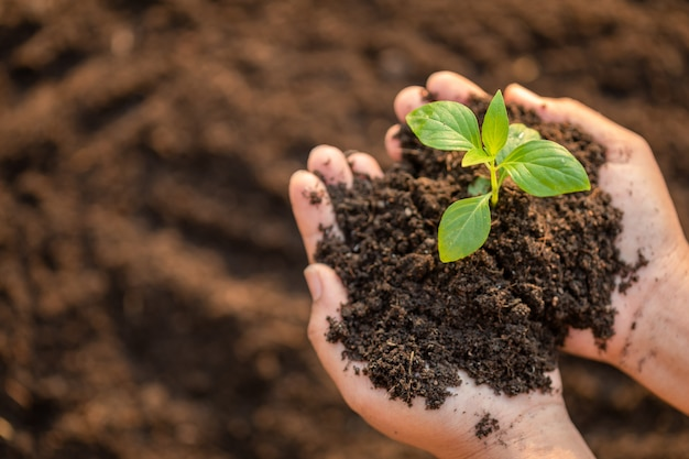 Chiuda sulla mano che tiene il giovane germoglio verde dell'albero e che pianta nel suolo