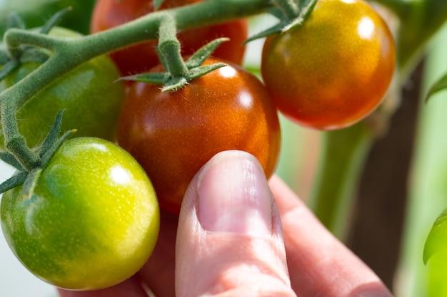 La mano del primo piano seleziona un pomodoro ciliegia rosso da un ramo. il concetto di sana alimentazione naturale, dieta, cibo sano.