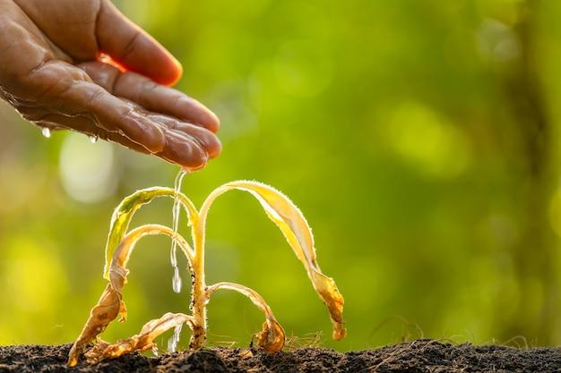 Chiuda sull'innaffiatura della mano alla pianta morta (albero di tabacco) sulla tavola di legno