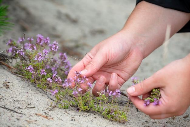 Chiuda in su delle mani che raccolgono fiori di timo selvatico all'aperto, erboristeria.
