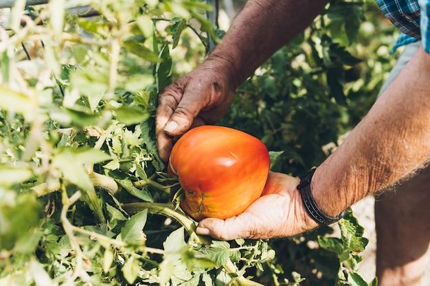 Primo piano delle mani di un anziano che tiene un grosso pomodoro dalla pianta. uomo adulto che raccoglie grandi pomodori dal suo giardino personale.