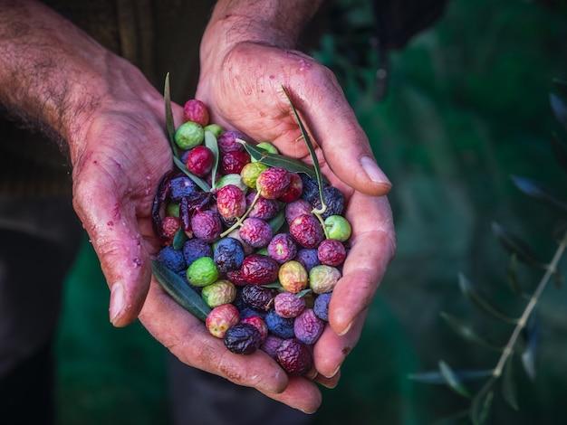 Primo piano di una mano che tiene una manciata di olive mature.