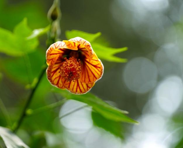 Chiuda sul fiore di campana giallo d'attaccatura