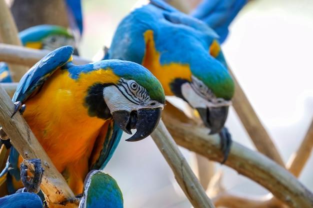 Chiuda sulla testa l'uccello del pappagallo ara blu e giallo in giardino