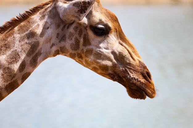 Chiuda sulla giraffa capa nell'erba sawana della natura