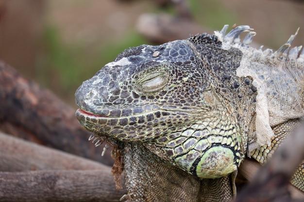 Chiuda sulla testa dell'iguana che dorme sul legno
