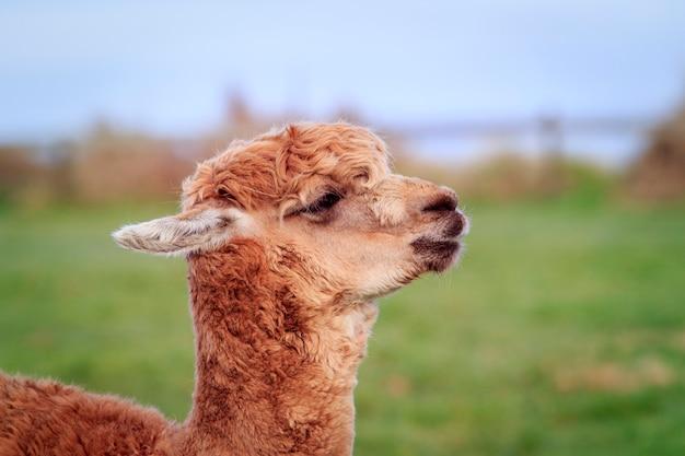 Primo piano testa di alpaca della nuova zelanda