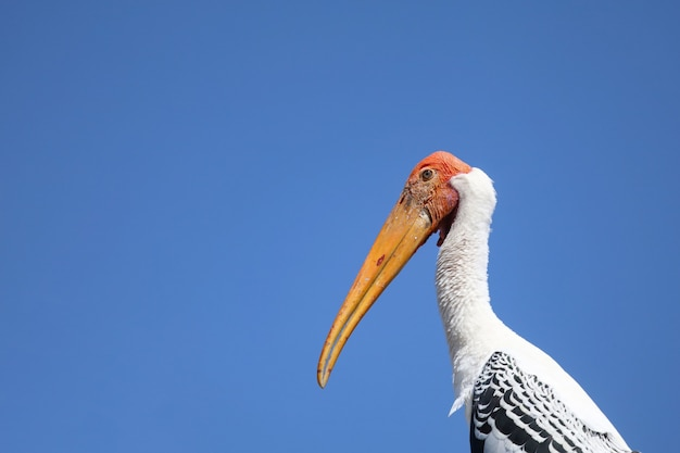 Close up testa the painted stork bird (mycteria leucocephala)