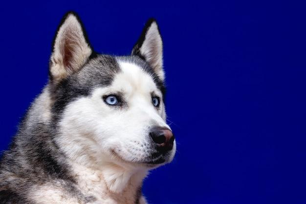 Close-up testa di sbirciare siberian husky dog con gli occhi blu su sfondo nero isolato, vista frontale